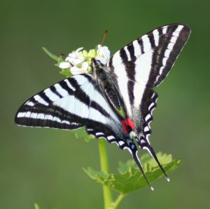 Zebra_Swallowtail,_Megan_McCarty69