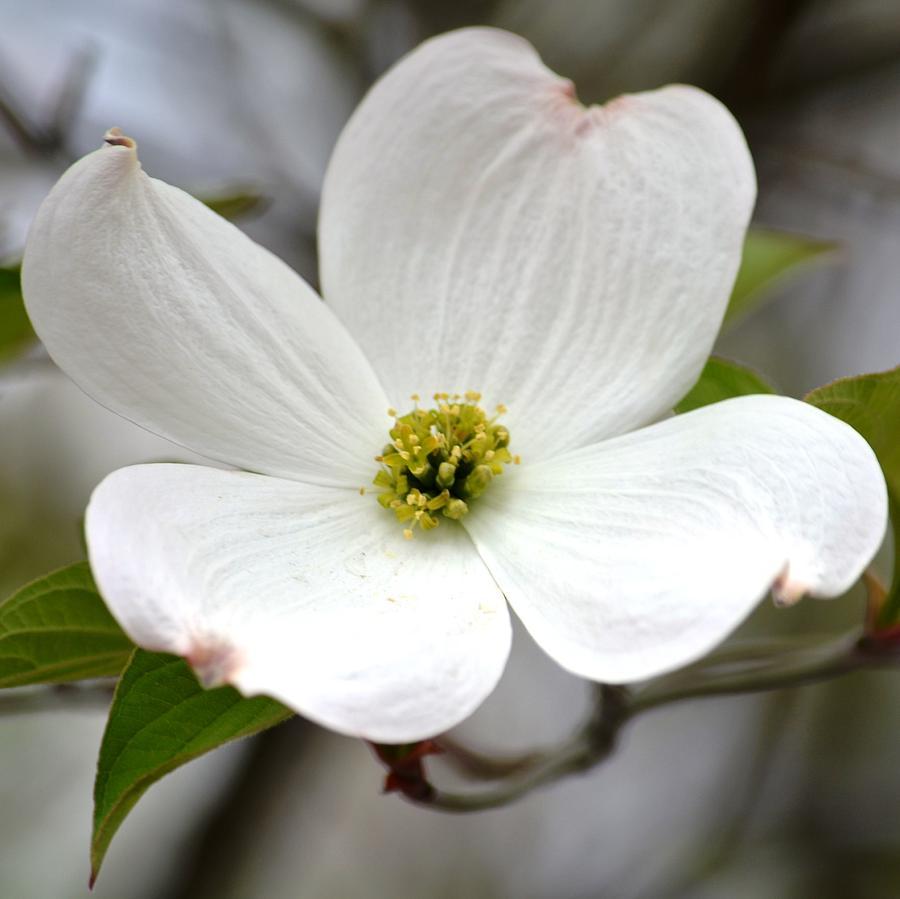 3 Day Sugar Flower Masterclass Dogwood Branch And Daffodil Sugar